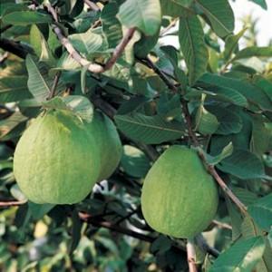 393833 48022 49 300x300 Guava Juice