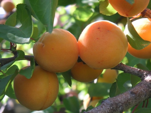 apricot 530x397 Apricot Juice