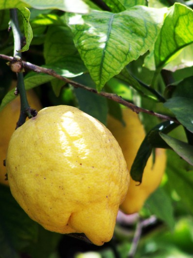 best lemons for juicing