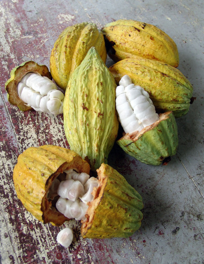 Raw cacao fruit