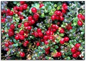 cranberry 300x215 Cranberry Juice