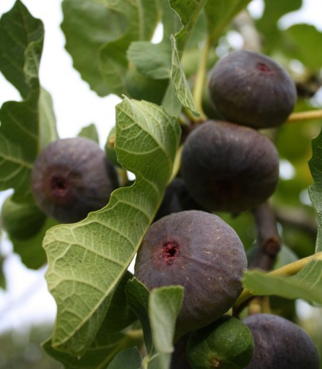 Figs for fig juice
