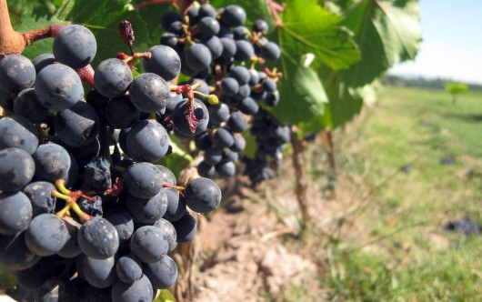 grapes1 530x332 4 Top Health Benefits of Grape Juice