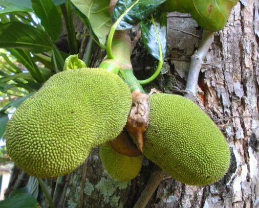 jackfruit 530x425 Health Benefits Of Jackfruit Juice