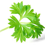 Since the times of the ancient Greeks, parsley has been used as a digestive aid.