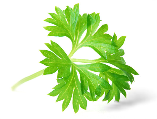parsley 530x403 Parsley   Herb,Spice,Vegetable and Medicinal Plant, 10 Reasons Not To Miss It