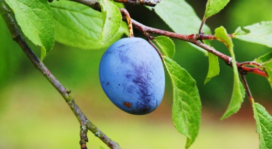 plum 530x291 Health Benefits Of Plum Juice   Constipation, Antioxidants, Heart Rhythm And More
