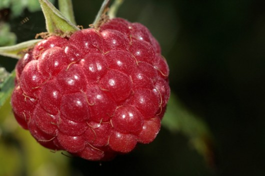 raspberry 530x353 Which Fruit Has The Most Dietary Fiber?
